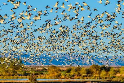 Snow Geese taking off in the morning