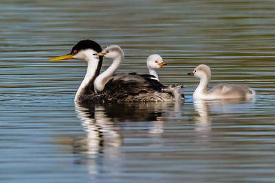 Western Grebe with babies