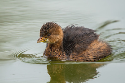 D01-063-Pied-billed Grebe-IRV-010317-D0672