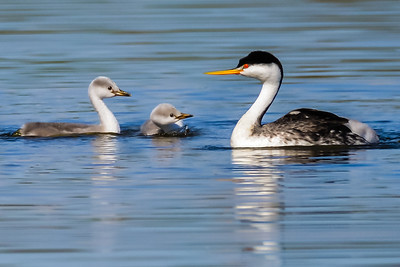 Clark's Grebe with babies