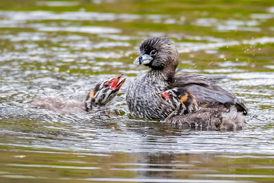 Pied-billed Grebe with babies