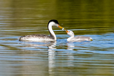 Clark's Grebe with baby