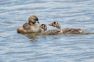D01-063-Pied-billed Grebe-LN-052616-D1543