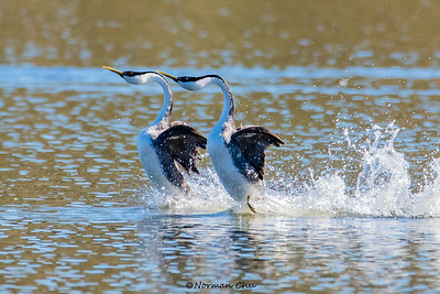 Western Grebes mating routine