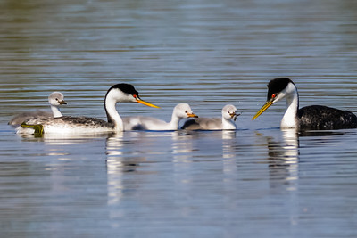 Clark's Grebes with babies