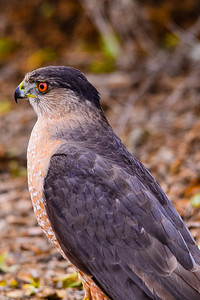 J03-128-Sharp-shinned Hawk-2-BC-120712