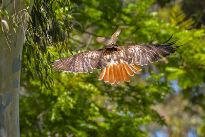 J03-138-Red-tailed Hawk-BC-070015-D8197