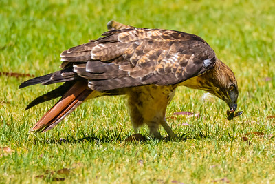 J03-138-Red-tailed Hawk-BC-070015-D8132