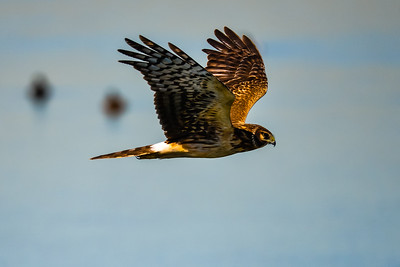 J03-Northern Harrier-F-BC-020016-D2593