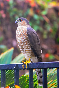 J03-128-Sharp-shinned-Hawk-LF-011115