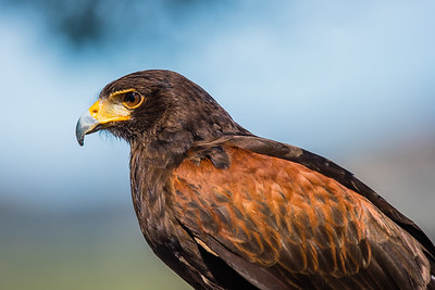 J03-130-Harris's Hawk-SD-022517-D8033