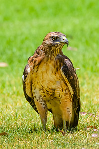 J03-138-Red-tailed Hawk-BC-070015-D8182