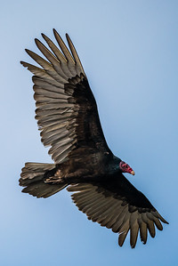 J01-123-Turkey Vulture-IRV-010016-D0183