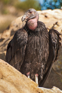 J01-122-California Condor-SD-022512