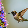 Black-chinned Hummingbird