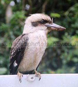 Kookaburra - Australia