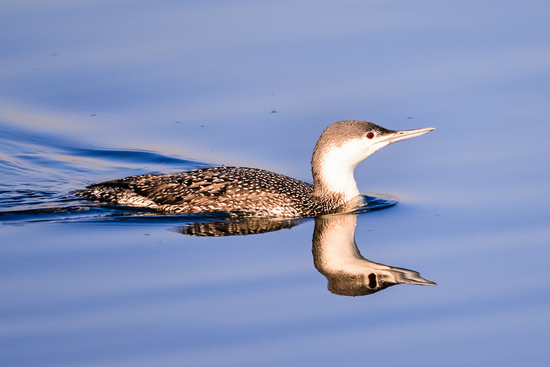 C01-059-Red-throated Loon-1-BC-122214