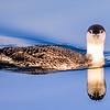 C01-059-Red-throated Loon-2-BC-122214