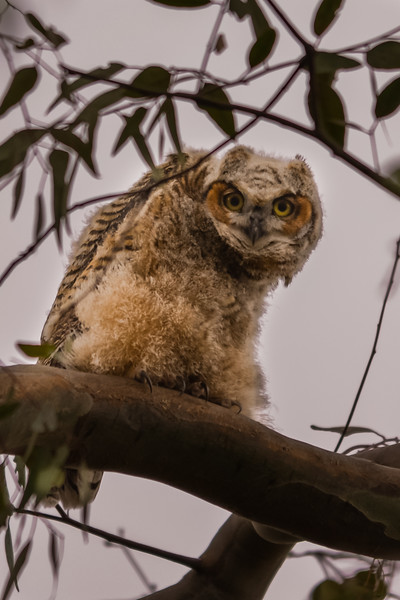O02-272-Great Horned Owl-juv-HB-042515