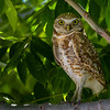 O02-276-Burrowing Owl-Chino-060015-D6158