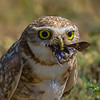 O02-276-Burrowing Owl-Chino-060015-D6304