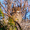O02-272-Great Horned Owl-BC-030715
