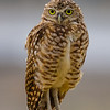 O02-276-Burrowing Owl-Chino-070015-D8399