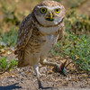 O02-276-Burrowing Owl-Chino-060015-D6272