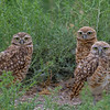 O02-276-Burrowing Owl-Chino-070015-D8327