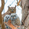 O02-272-GreatHorned Owl-BC-050917-D6392