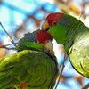 U01-334-Red-crowned Parrot-IRV-110015-D0361