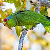 U01-334-Red-crowned Parrot-IRV-100116-D2779