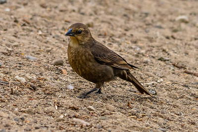 V30-557-Brown-Headed-Cowbird-female-HB-061015