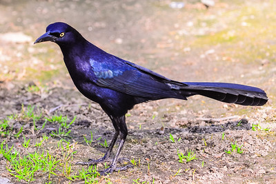 V30-552-Great-tailed Grackle-FV-012115