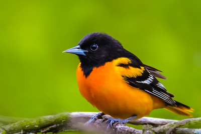 V30-565-Baltimore Oriole-MM-051116-D7329