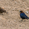 V30-557-Brown-Headed-Cowbird-pair-HB-061015