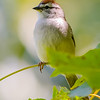 V28-517-Chipping Sparrow-FUL-051015