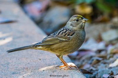 Golden-crowned Sparrow female