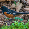 V28-508-Spotted Towhee-IRV-101116-D0314