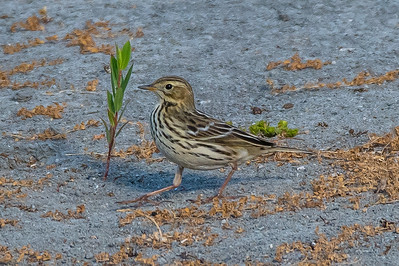 Red-throated Pipit Juvenile