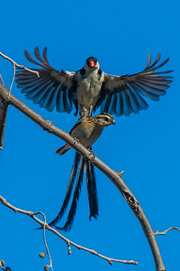 Pin-tailed Whydah mating dance