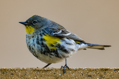 V27-492-Yellow-rumped Warbler-IRV-020016-D2194