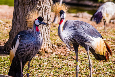K02-999-East-African Crowned Crane-P2-SD-111814