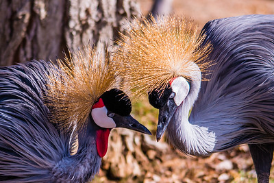 K02-999-East-African Crowned Crane-P-SD-111814