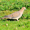 M01-258-Morning Dove-LF-030815