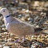 M01-260-Eurasian Collared-Dove-SaltonSea-020816-D1405