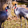 East-African Crowned Cranes