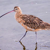 L04-173-Long-billed-Curlew-BC-013015