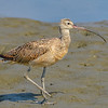 L04-173-Long-billed-Curlew-BC-070015-D8506