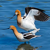 American Avocets mating